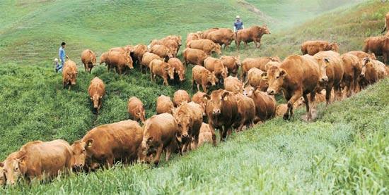 韓牛が江原道大関嶺(カンウォンド・テグァンリョン)の韓牛試験場で草を食べている。