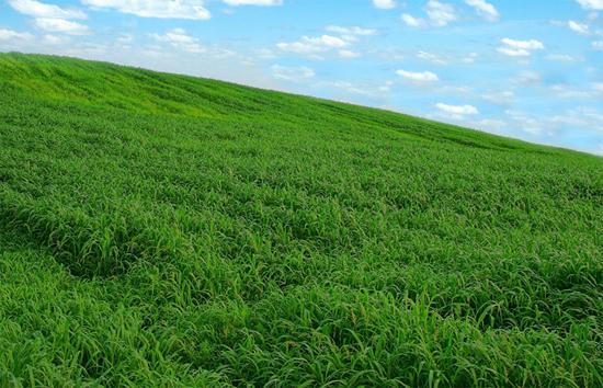 ウィンドウズXPの壁紙にそっくりな韓国のライ麦畑。