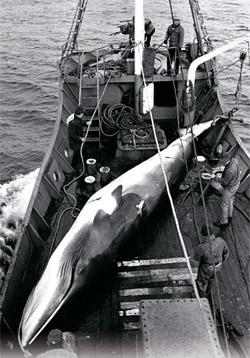 韓国政府が国際社会が認める範囲で科学調査目的の捕鯨を推進することにした。