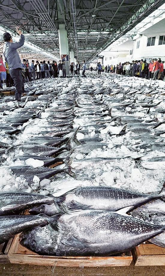 3日、釜山市南富民洞(プサンシ・ナムブミンドン)の共同魚市場にずらりと並ぶ本マグロ。