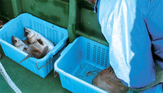 先月24日、福島第1原発から南に20キロ離れた海で網に掛かったスズキ2匹。福島県でスズキは出荷制限魚種。