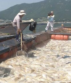 11日慶尚南道南海郡(キョンサンナムド・ナムヘグン)の弥助(ミジョ)港にあるタイ養殖場で漁師が赤潮で死んだ魚を取り出している。