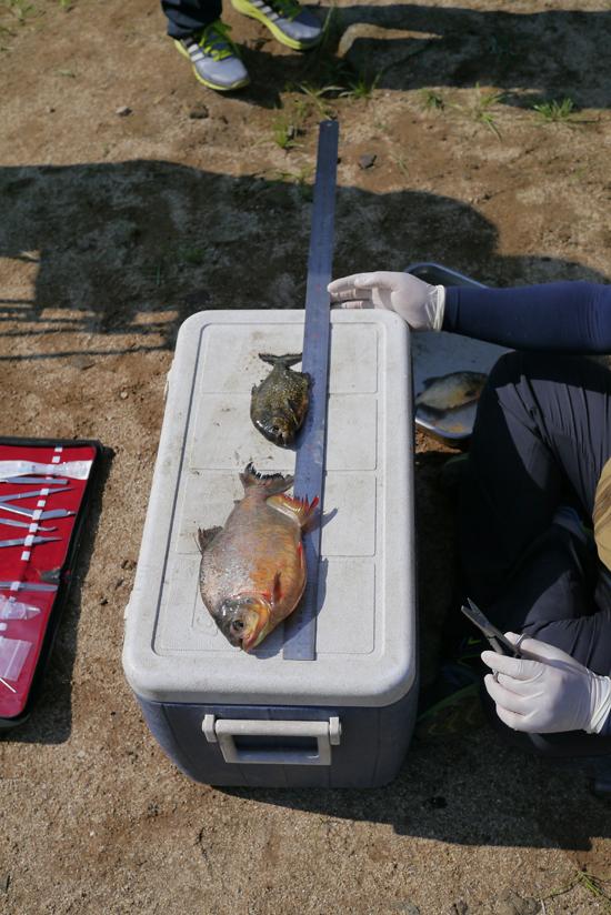 アマゾンに生息するピラニアが韓国の貯水池で見つかった。