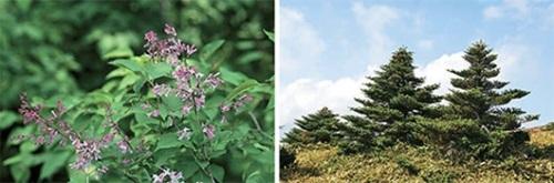 韓国の在来種だが外国に持ち出されて改良されたライラック・ミスキム(左)とチョウセンシラベ(右)。(写真提供=生命工学研究院)