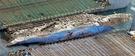 セウォル号が2014年4月16日の沈没から1072日ぶりとなる23日、水面の上にその姿を現した。この日、中国引揚げ業者「上海サルベージ」のジャッキングパージ船が全羅南道珍島郡沖の海域で引き揚げ作業を進めている。セウォル号の船体には赤サビが散見される。