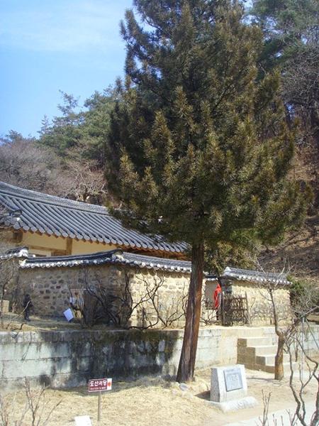 陶山書院の庭に47年間あったコウヤマキが、ことし9月ごろに書院の塀の外に移植されることになった。(写真提供=安東市)