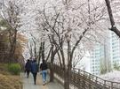 人気観光地・弘大(ホンデ)の賑やかな通りを抜け、地下鉄6号線上水(サンス)駅の南側まで足を伸ばすと、この時期には「唐人里桜並木道(タンインリポッコッコリ)」の桜が出迎えてくれます。