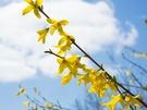 レンギョウは韓国語でケナリ、別名「迎春花(ヨンチュンファ)」とも言われ、春を代表する花として昔から地元韓国人に愛されています。