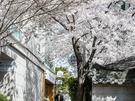 大通りの喧騒から離れたところで、桜が穏やかに咲き誇っています。