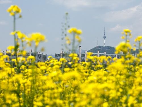 ソウルの花々は、次々と満開時期を迎えています。