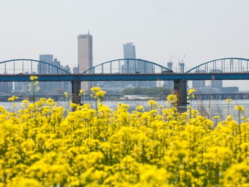 毎年5月のGWに開催される「漢江ソレ島菜の花祭り」も今年は5月12日~5月13日に開かれるなど、長引いた寒さによって例年より開花がずれ込んでいます。