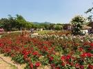 地下鉄4号線明洞(ミョンドン)駅から約30分でアクセスできる京畿道(キョンギド)、果川(クァチョン)市の「ソウル大公園」では、「バラ園祭り」が開催中!