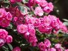 今年の「バラ園祭り」は5月26日(土)から6月10日(日)まで。約179種、3万8千株の華麗なバラが咲き誇り、その規模は韓国最大級。