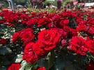 バラの女王と呼ばれる「マリア・カラス」や香り高い「ドゥフトボルケ」、青いバラの元祖「ブルームーン」など珍しい品種も多く、色とりどりのバラを鑑賞することができます。