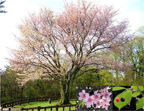 済州市奉蓋洞の自生「王桜」。天然記念物159号に指定されている。(写真=国立樹木園)