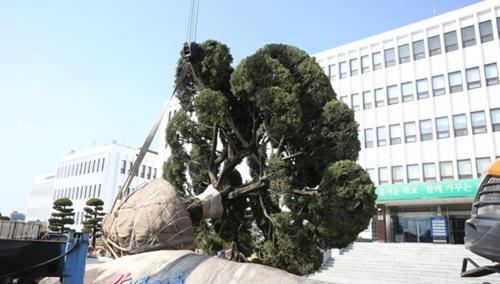 三・一運動100周年記念式を控えた今月16日、慶尚南道教育庁が正門玄関にあった日本のカイヅカイブキを抜き取っている。(写真提供=慶尚南道教育庁)