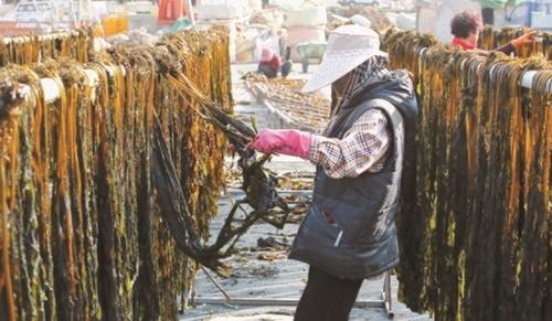 14日、釜山市機張郡コンス村で漁民が機張沖で採れたワカメの乾燥作業を行っている。