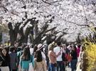 先週のうちに満開になった釜山(プサン)などの韓国南部に続いて、ソウルにもついに桜の季節が到来しました!