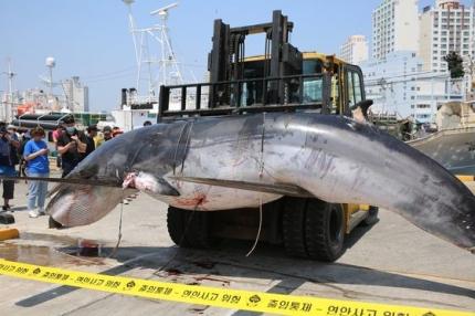 違法捕獲されたと疑われるミンククジラが9日に発見されて陸地に移送された。[写真 蔚山海洋警察]