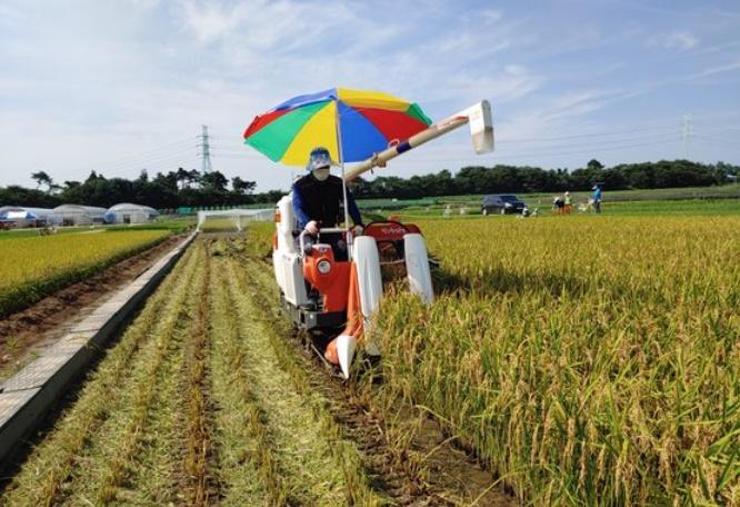 昨年、韓国忠清南道(チュンチョンナムド)で韓国品種の稲の収穫が行われている[写真 忠清南道農業技術院]