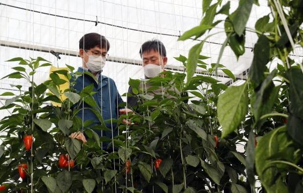 許泰雄農村振興庁長(左)が韓国品種のパプリカ「ラオン」の栽培現場を視察している。[写真 農村振興庁提供]