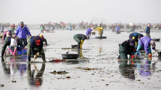 29日、忠清南道泰安郡所遠面波涛里(チュンチョンナムド・テアングン・ソウォンミョン・パドリ)で漁民がアサリを採取している。波涛里で採取されたアサリは全量日本に輸出される。[写真 泰安郡]